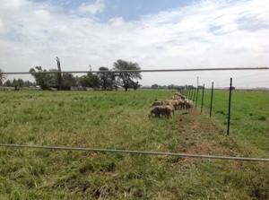 Brazseed maak 'n skaapboerdery maklik