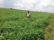 Hansie Muller met 172 kallers van 200kg op 16 ha Brazseed droeland - Plaas Biesiesfontein Viljoenskroon distrik